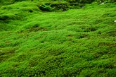 Natural carpet of moss