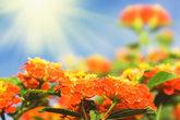 Floral background. Lantana flowers