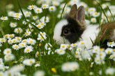 young rabbit in blumenmeer