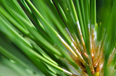 Nature's Abstract – Pine Needles
