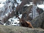 ibex,wild animal,wild animals,animals,animals