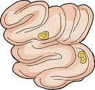 Food Inside Small Intestine