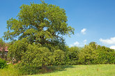 oak at kastanienhof with hirzweiler-welschenbach as natural monument