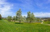 flowering fruit trees in a rural landscape