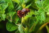 sexual intercourse of the Colorado beetle