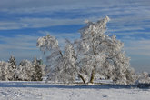 snow-covered birch on the kahler asten in the nature park sauerland-rothaargebirge in front of blue winter sky in the hochheide