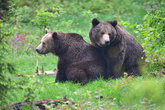 brown bears at mating