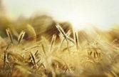 grain of wheat sun nature