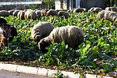 Farm animals on the field